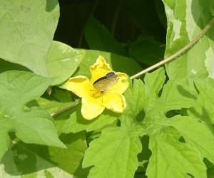 ゴーヤの花と蝶